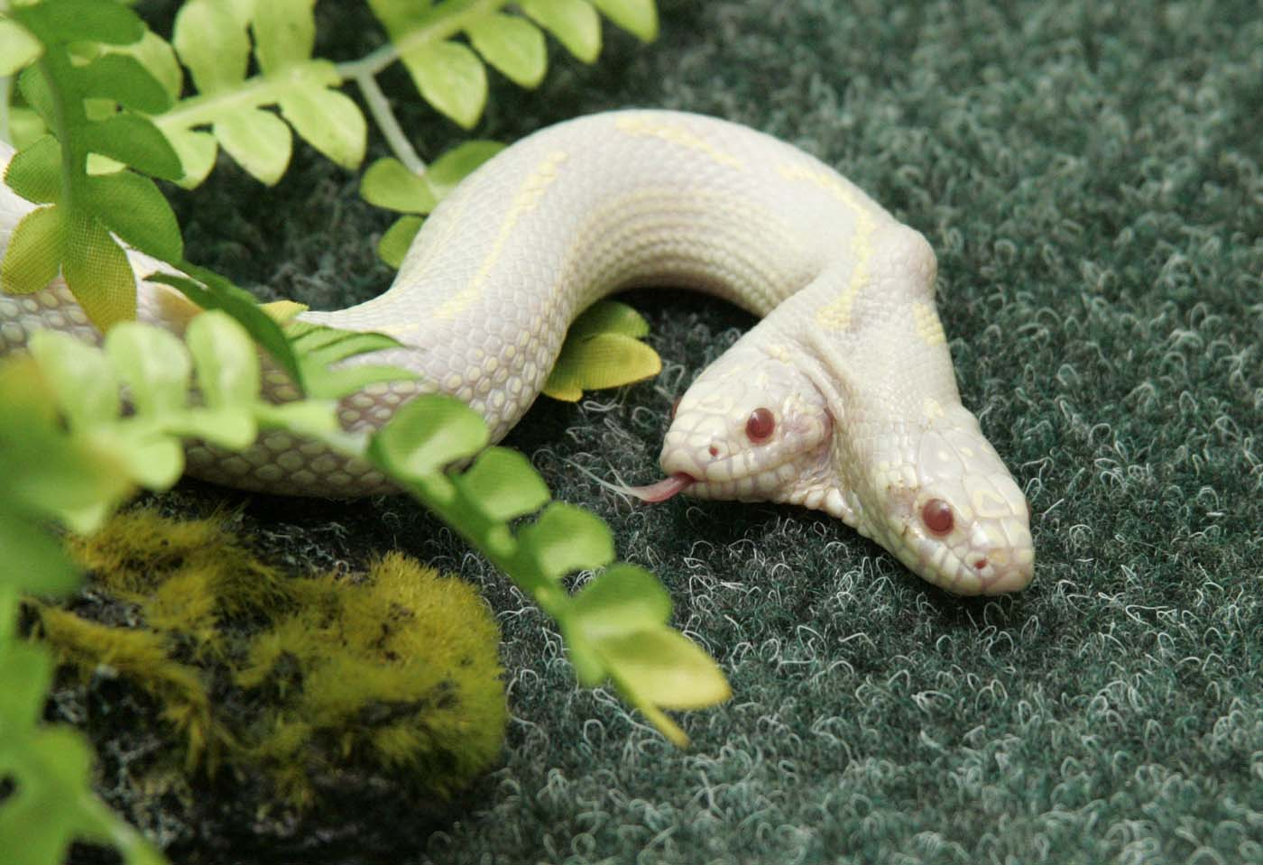 A rare two-headed snake explores its surroundings in a private zoo in the Crimean town of Yalta July 8, 2011. The three-year-old snake was brought from a zoo in Switzerland where it was born. (Stringer/Reuters)