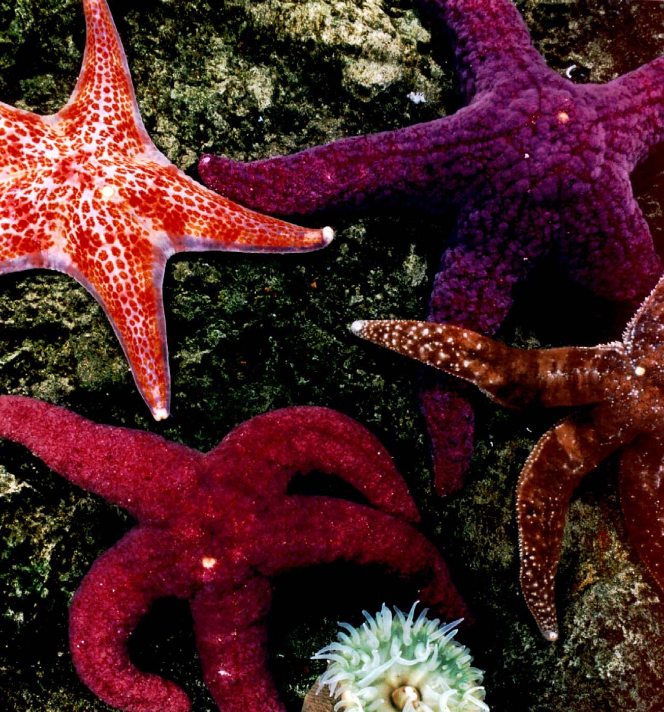A Starry, Starry Sight! Sea stars at the National Aquarium in Baltimore. (Credit: George Grall)