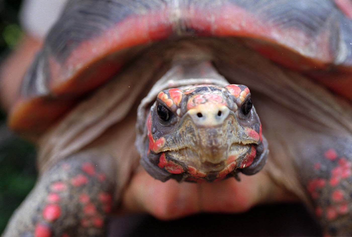 A red-legged tortoise from South America at the Baltimore Zoo July 12, 1995. (Algerina Perna/Baltimore Sun)