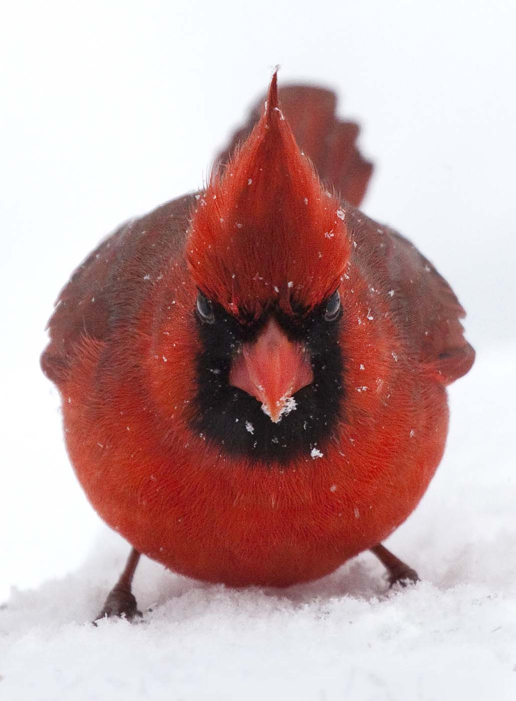 "Kevin Moore submitted this photo to the Sun's Reader SunShots titled ""Ticked-off Cardinal."" (Credit: Kevin Moore)"