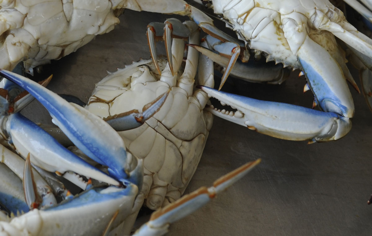 For those who only see them bright orange-red and steamed, crabs awaiting steaming in Cambridge show deep blue hues they are named for. (Jed Kirschbaum/Baltimore Sun)