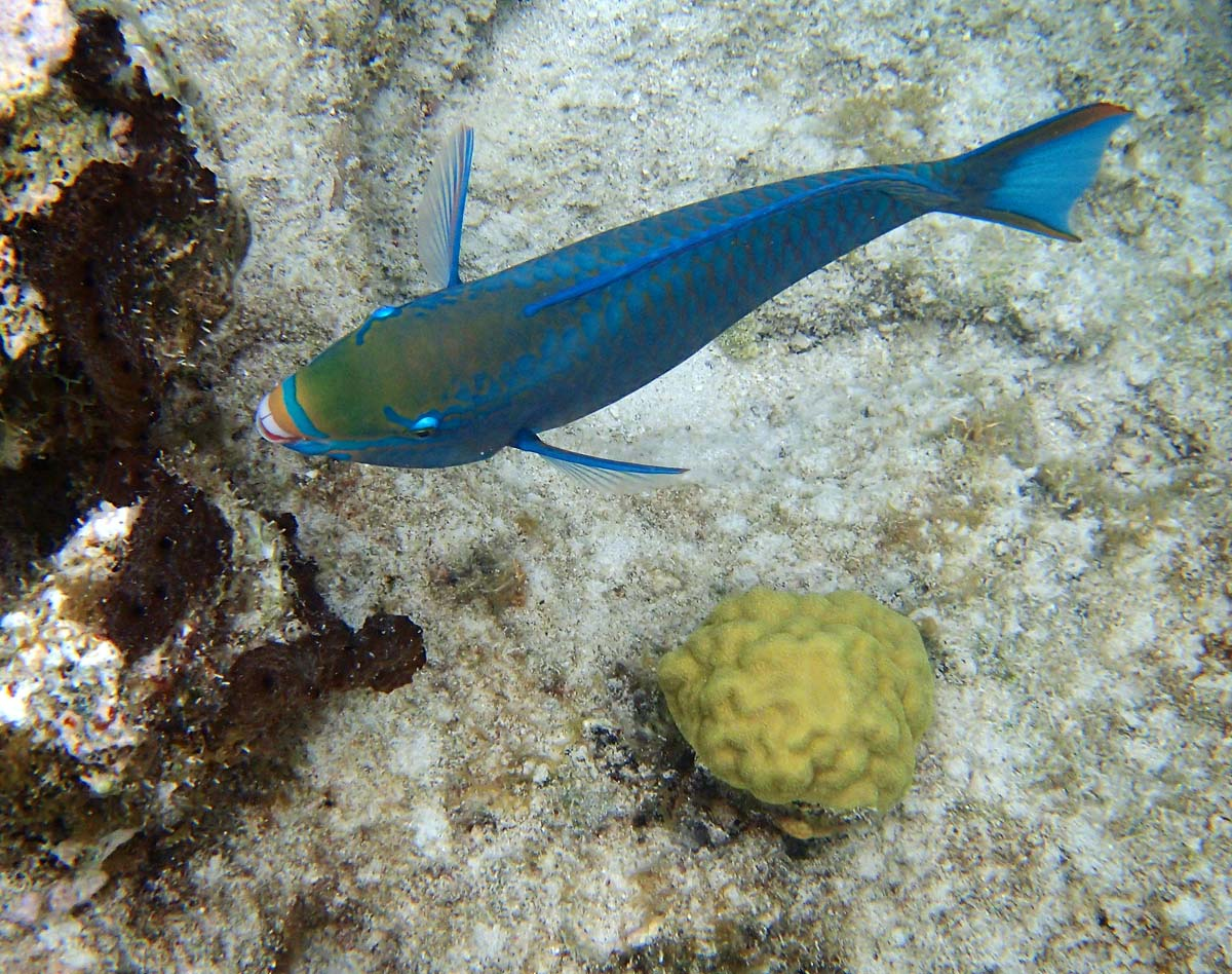 I saw a number of these fish while snorkeling in Trunk Bay, St. John. They had beautiful colors and markings. (Robert K. Hamilton/Baltimore Sun)