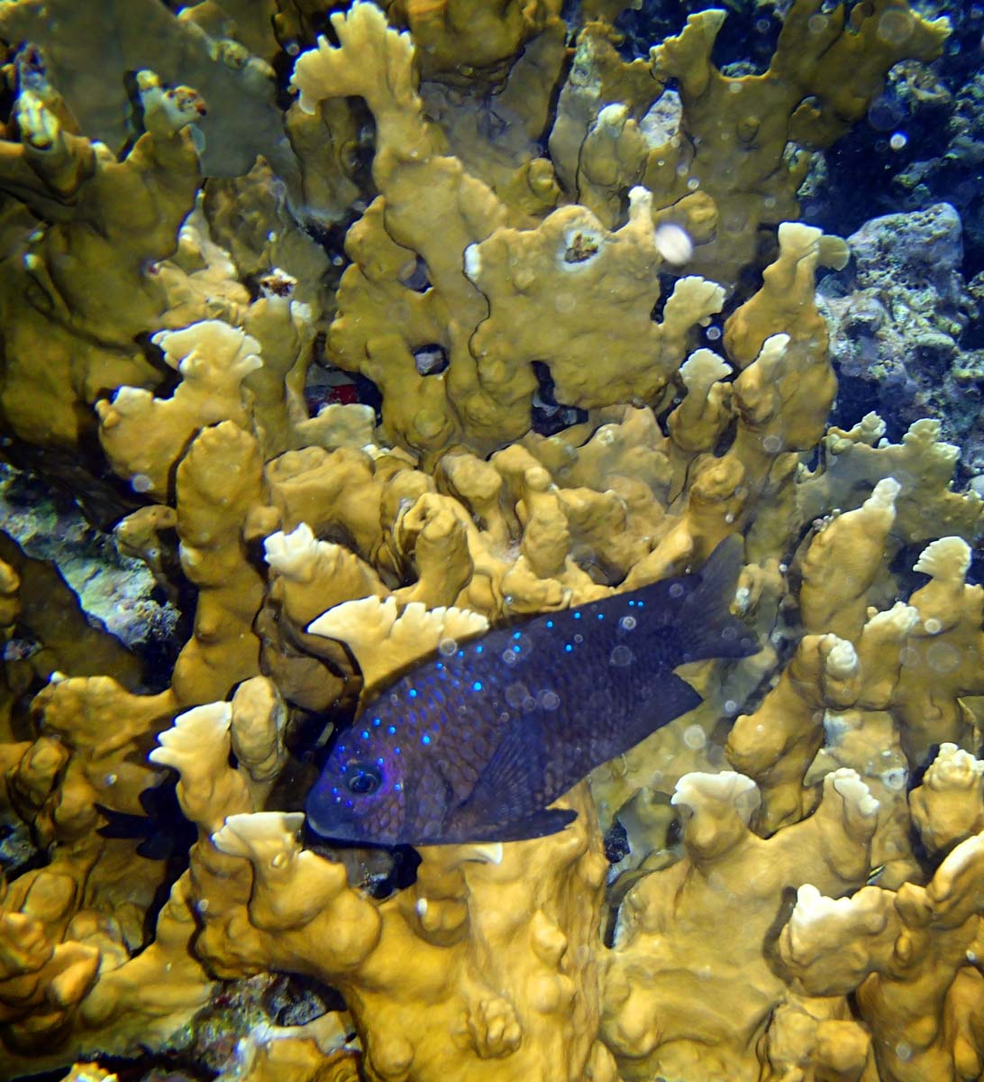 I shot this image a fish with very deep blue color against yellow coral with the flash turned on. Though I liked that it brought out the colors, I'm not a fan of the shadows the flash created. (Robert K. Hamilton/Baltimore Sun)