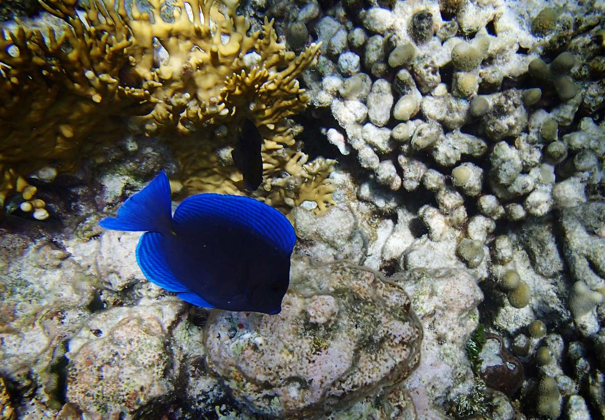 A bright blue fish feeds off the coral at Diamond Reef in the British Virgin Islands. (Robert K. Hamilton/Baltimore Sun)