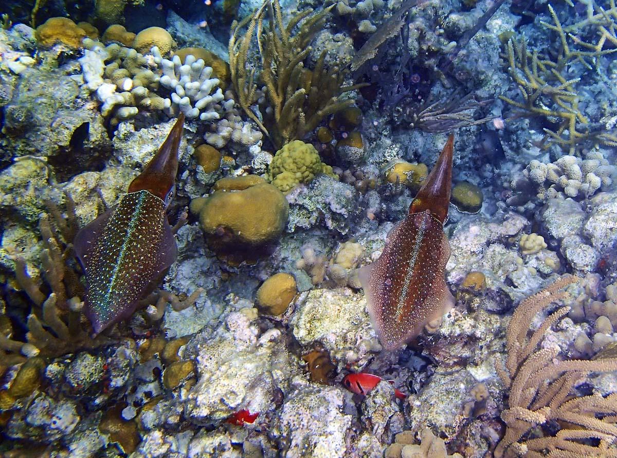 A pair of squid swimming in Diamond Reef, British Virgin Islands. (Robert K. Hamilton/Baltimore Sun)