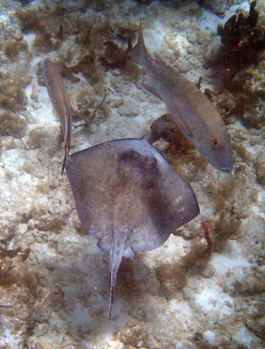 I shot this stingray at Cinnamon Bay, St. John. The fish was a considerable distance below me which is why the light was marginal. (Robert K. Hamilton/Baltimore Sun)