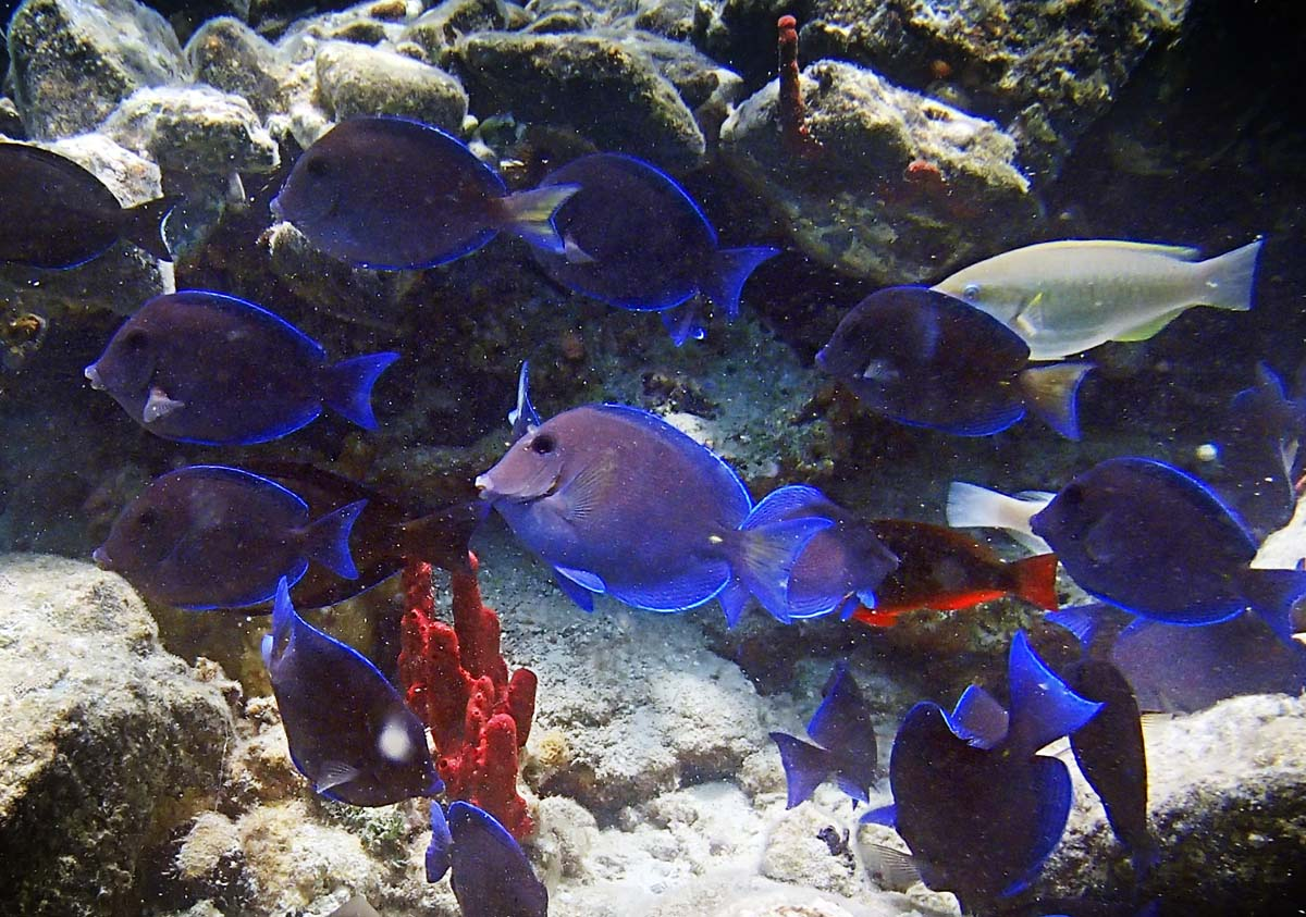 I liked the vibrant blue fish contrasted against the red coral in Cinnamon Bay, St. John USVI. (Robert K. Hamilton/Baltimore Sun)