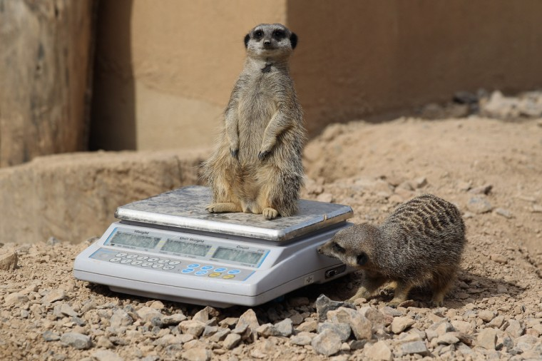 Meerkats are weighed and measured during the ZSL London Zoo 's annual weigh-in in London, England. The height and mass of every animal in the zoo, of which there are over 16,000, needs to be recorded. The measurements are collated in the Zoological Information Management System, from which zoologists can use the data to compare information on thousands of endangered species. (Oli Scarff/Getty Images)