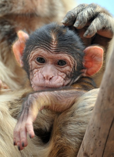A young Barbary macaque and its mother sit in their enclosure at the zoo in Erfurt, eastern Germany . The baby monkey was born on July 27, 2012 weighing 450 grams. (Martin Schutt/GettyImages)