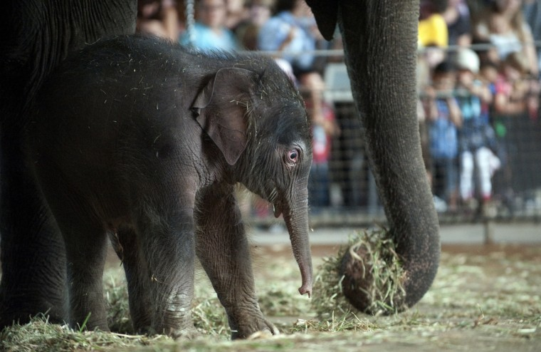 Newborn baby elephant Anchali gazes at his mother's Pang Pha trunk during his first presentation to the press and to visitors at the Zoologischer Garten zoo in Berlin, Germany. Anchali was born druing the night on August 12, 2012 at the Berlin zoo. (Barbara Sax/GettyImages)
