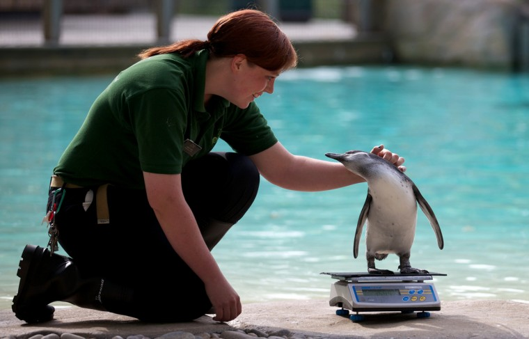 A zookeeper strokes a penguin on a scale during the annual weigh-in at London Zoo. (Andrew Cowie/Getty Images)