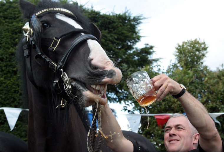 Monty, the Wadworth brewery shire horse is given a pint of beer outside the Raven Inn in Poulton as he starts his two-week annual holiday near Devizes, England. Hundreds of people gathered to watch as Monty, along with fellow dray horses Prince and Max - who are employed by Devizes brewery Wadworth to deliver beer 50 weeks a year to Wiltshire pubs - were each is given a pint of beer before being released into a field near Devizes. The brewery has been employing shire horses for more than 100 years to deliver beers to local inns and hostelries. (Matt Cardy/Getty Images)