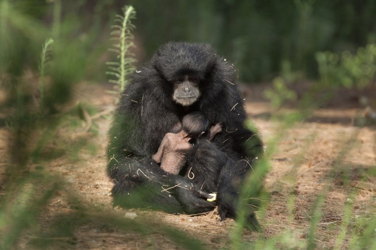 A 7-day-old unnamed Siamang Gibbon weighing 170 grams is nursed by his mother Jamby at the safari park and zoo in Ramat Gan, Israel. The Siamang Gibbon is found mainly on the Indonesian island of Sumatra and the Malaysian peninsula. (Uriel Sinai/Getty Images)