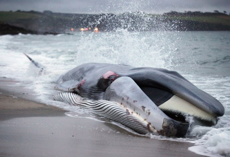 A female fin whale lies stranded on the beach at Carlyon Bay on August 13, 2012 in St Austell, England. The stranded whale was spotted by holidaymakers just after 5pm and initially rescuers had hoped to refloat it. However the 60 ft. (20 meter) fin whale, a globally endangered species and the second largest animal on the planet, sadly died on the beach. (Matt Cardy/Getty Images)