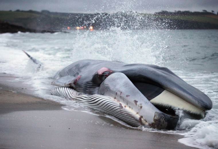 A female fin whale lies stranded on the beach at Carlyon Bay on August 13, 2012 in St Austell, England. Fin whales are globally an endangered species and the second largest animal on the planet. (Matt Cardy/Getty Images)