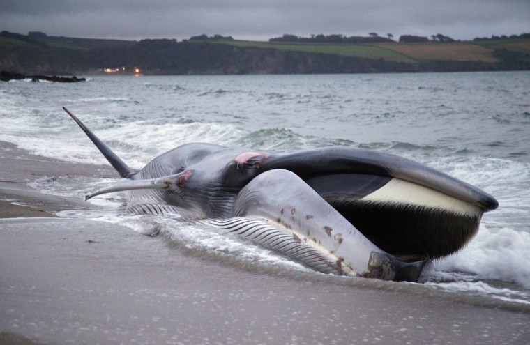 A female fin whale opens its mouth as it lies stranded and alive on the beach at Carlyon Bay on August 13, 2012 in St Austell, England. Initially, rescuers had hoped to refloat the 65 ft fin whale, a globally endangered species and the second largest animal on the planet, but it sadly died on the beach. (Matt Cardy/Getty Images)