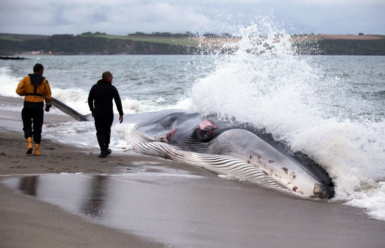 The stranded whale was spotted just after 5 p.m. on August 13, 2012. Rescuers monitored the fin whale, which was stranded on the beach at Carlyon Bay. (Matt Cardy/Getty Images)
