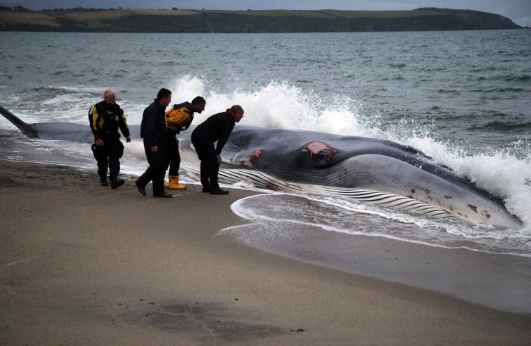 Rescuers examine a female fin whale that lies stranded on the beach at Carlyon Bay on August 13, 2012 in St Austell, England. (Matt Cardy/Getty Images)