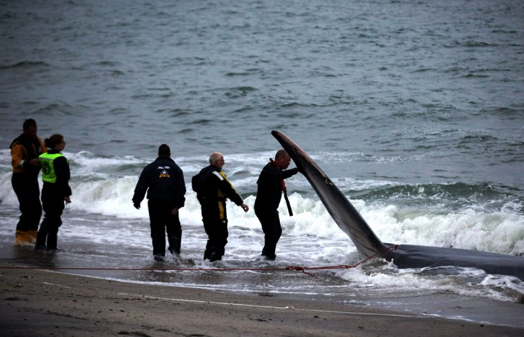 Rescuers examine a female fin whale, which lies alive and stranded on the beach at Carlyon Bay on August 13, 2012 in St Austell, England. (Matt Cardy/Getty Images)