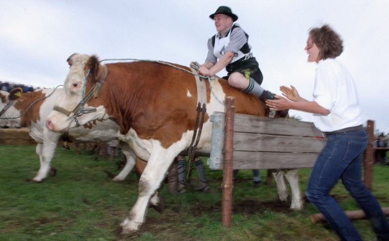 """Participants dressed in traditional Bavarian lederhosen compete in the 5th ox-racing championship on August 26, 2012 in Muensing, Germany. The competition, which only takes place once every four years, is a race of jockeys riding bareback on oxen across a field and is complemented with a morning procession and """"ox-ball"""" in a festivities tent after the races. (Johannes Simon/Getty Images)"""