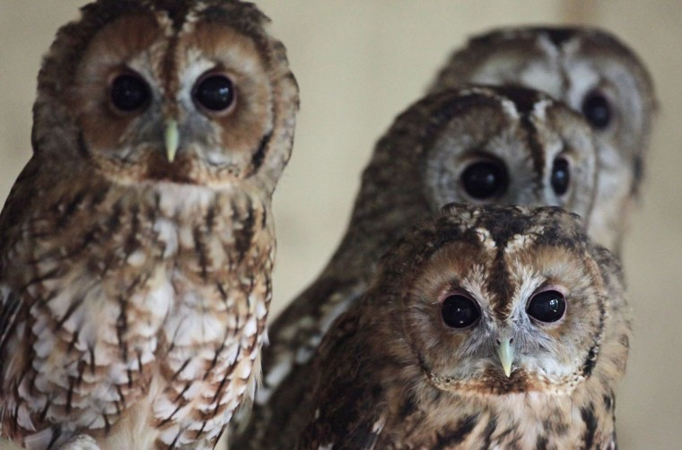 Rescued young tawny owls perch on a branch as they wait to be released back into the wild at the RSPCA West Hatch Wildlife Centre in Taunton, England. Between January and the end of July, 33 of the baby birds were taken to the RSPCA centre in Somerset for care, a large increase on previous years. Although the exact reason for this rise is unclear, it is thought the topsy-turvy weather conditions and some extremely windy days through the spring and summer may have contributed. (Matt Cardy/Getty Images)
