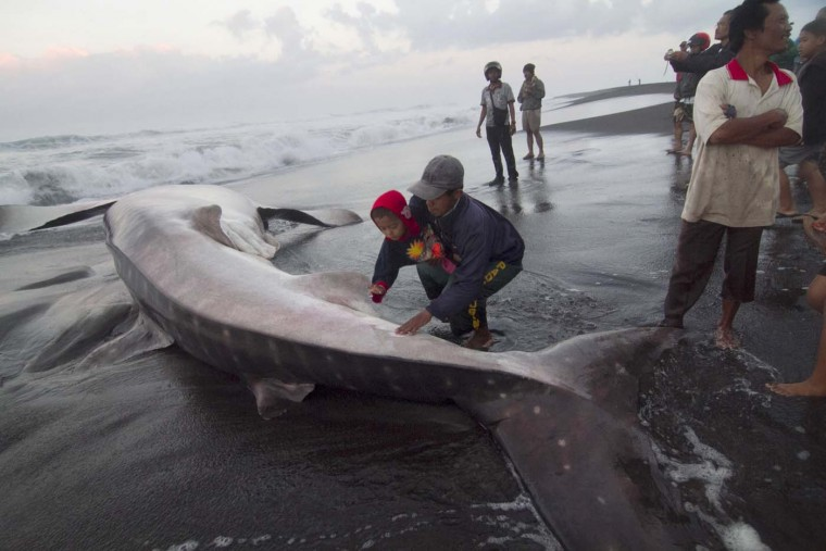 "Residents touch a whale shark that died on the shores near the city of Yogyakarta in Indonesia's southern coast of Java island at dawn of August 2, 2012 after being stranded in shallow waters overnight. Police and volunteers from Animal Friend Jogja (AFJ) prevented the local villagers from chopping up the 13-metre-long (42 ft) whale shark for its meat. Whale sharks, the world's largest fish, are classified as ""vulnerable"" by the International Union for the Conservation of Nature (IUCN). (Suryo Wibowo/AFP/Getty Images)"