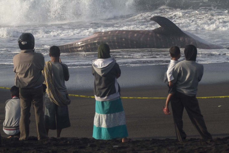 "Residents view a whale shark that died on the shores near the city of Yogyakarta in Indonesia's southern coast of Java island at dawn of August 2, 2012 after being stranded in shallow waters overnight. Police and volunteers from Animal Friend Jogja (AFJ) prevented the local villagers from chopping up the 13-metre-long (42 ft) whale shark for its meat. Whale sharks, the world's largest fish, are classified as ""vulnerable"" by the International Union for the Conservation of Nature (IUCN). (Suryo Wibowo/AFP/Getty Images)"