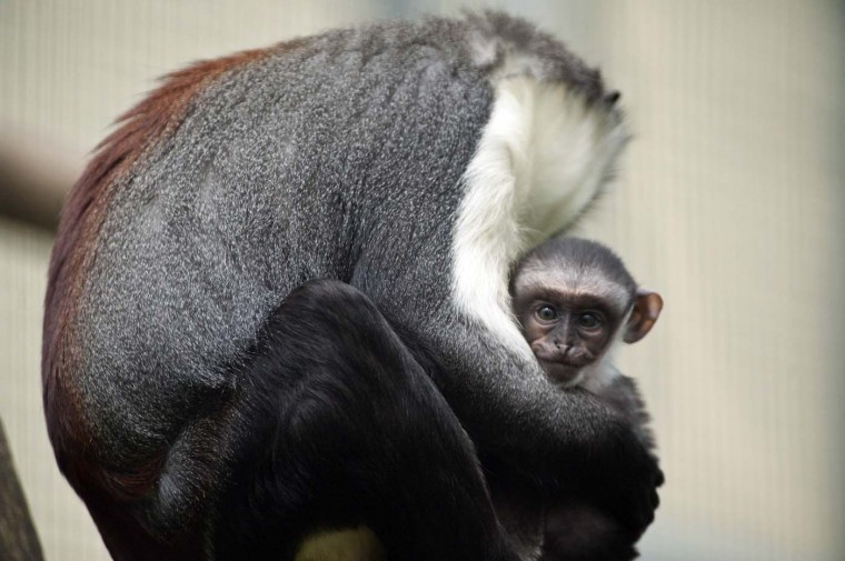 Owabi (R), a two-week-old monkey cub of the Cercopithecus roloway family, one of the 25 most endangered primate species in the world, is pictured with its mother, Nyaga, on August 2, 2012 at the zoo in Mulhouse, eastern France. (Sebastien Bozon/AFP/Getty Images)