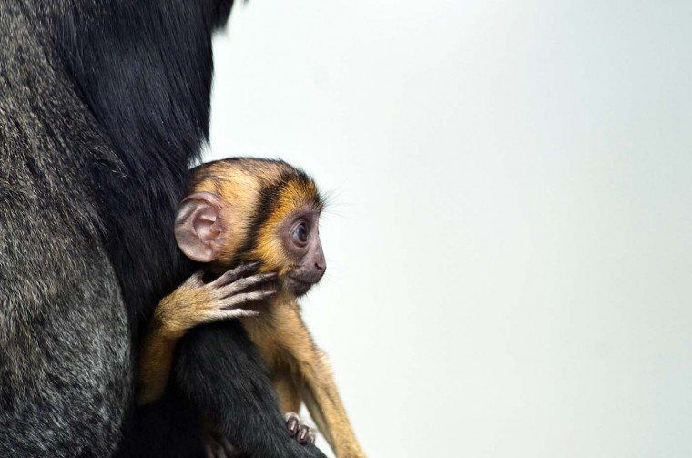 Lisimba (R), a two-month-old Hamlyn's monkey cub of the Cercopithecus hamlyni family, is pictured with its mother, Karmina, on August 2, 2012 at the zoo in Mulhouse, eastern France. (Sebastien Bozon/AFP/Getty Images)
