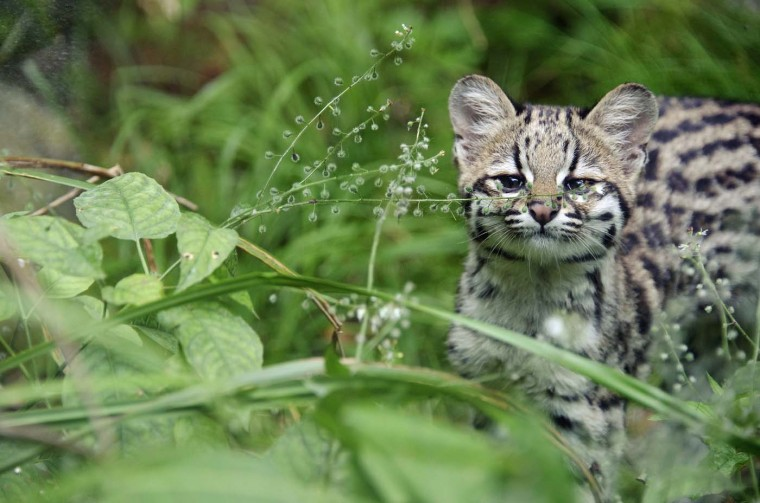 Chikita, a five-month-old tiger cat cub is pictured, on August 2, 2012 at the zoo in Mulhouse, eastern France. (Sebastien Bozon/AFP/Getty Images)