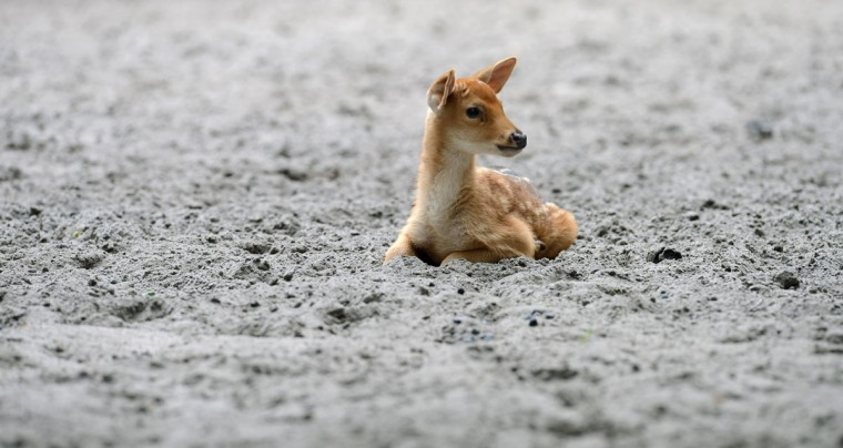 A male Barasingha deer pup rests at the swamp deer enclosure at the zoo in Berlin. The pup was born on June 24, 2012. The Barasingha is a deer species that is threatened to be extinct. (Christof Stache/AFP/Getty Images)