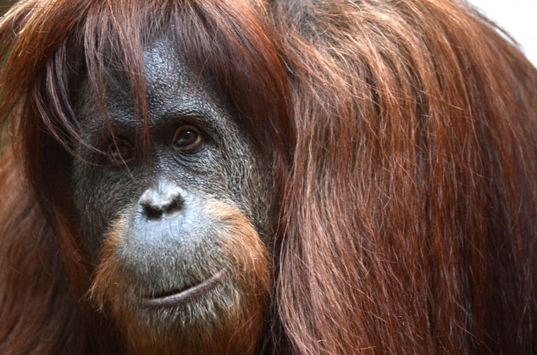 A Orangutan sits in the enclosure at the zoo in Wuppertal, western Germany. Orangutans are currently found in the rainforests of Borneo and Sumatra. (Patrik Stollarz/Getty Images)
