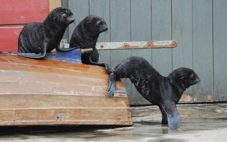 Seal cubs explore their enclosure at the zoo in Hanover, Germany. They were born in june 2012 at the zoo in Hanover. (Julian Stratenschulte/AFP/Getty Images)