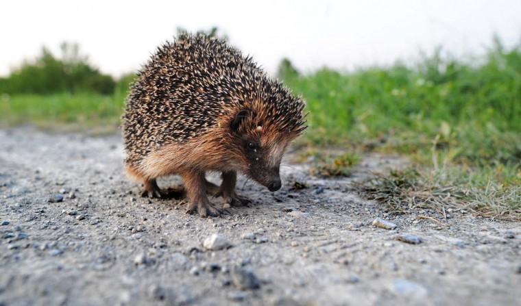 A hedgehog sits on a track near Hanover-