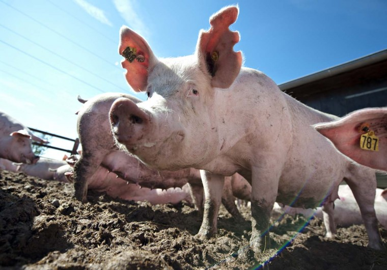 A pig stands in the enclosure in Winsen, eastern Germany, on August 13, 2012. Animal feed prices rised up in the last month and for many companies the situation gets existence-threatening. (Emily Wabitsch/AFP/Getty Images)