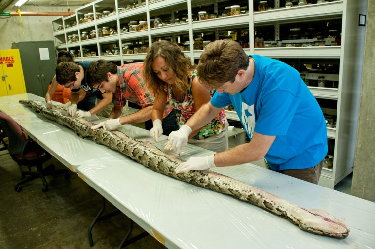 Researchers at the Florida Museum of Natural History on the University of Florida campus examine the internal anatomy of the largest Burmese python found in Florida to date in this August 10, 2012 photo. The 17-foot-7-inch snake weighed 164 pounds and carried 87 eggs in its oviducts, a state record. (University of Florida/Kristen Grace/Florida Museum of Natural History/AFP/Getty Images)