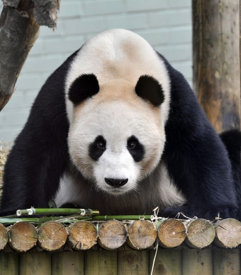 Yang Guang (Sunshine), a giant male panda, looks on during his ninth birthday, his first on Scottish soil at the Edinburgh Zoo. Yang Guang is one of the two giant pandas which arrived at the zoo on December 4, 2011 and will spend 10 years on loan in the Scottish capital, a deal agreed after years of high-level political and diplomatic negotiations with China. (Andy Buchanan/AFP/Getty Images)