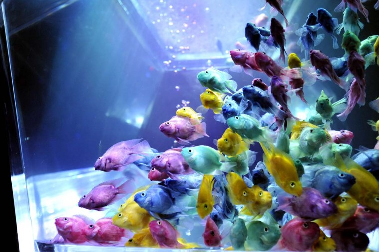 Colorful goldfish swim in a tank as part of an art exhibition 'Art Aquarium' during a press preview in Tokyo. The exhibition, designed by aquarist Hidetomo Kimura, will begin from August 17 through September 24. (Yoshikazu Tsunorie/Getty Images)