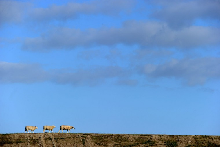 Three sheep walk along the North Sea Dike in Dagebuell, northern Germany, on August 27, 2012. (Carsten Rehder/AFP/Getty Images)