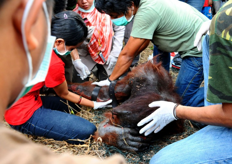 Environmental activists from World Wildlife Fund (WWF), International Animal Rescue (IAR) and officials from Nature Resource's Conservation Agency (BKSDA) attend to a wild orangutan after he was burnt in a fire in Pontianak on August 27, 2012. The activists accidentally burnt the wild orangutan as they attempted to bring the primate down from a tree. There are around 7,500 orangutan in West Kalimantan according to WWF in their recent report. (Mark San/AFP/Getty Images)