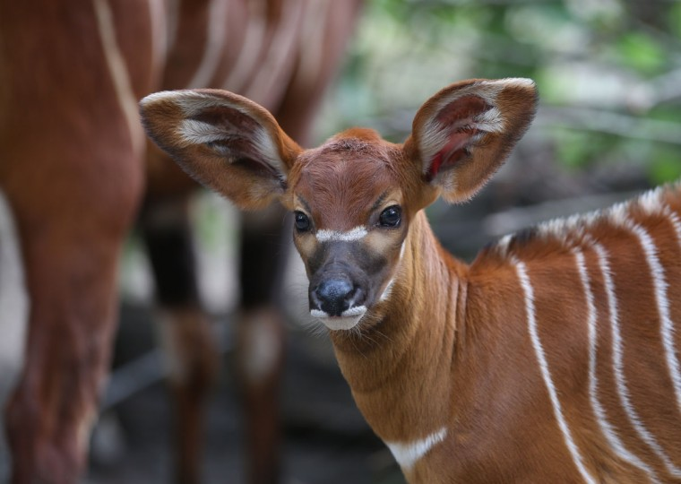 A young bongo antelope stands next to his mother at his enclosure at the zoo in Berlin, Germany. Several female bongos gave birth during the past months at the Berlin zoo. (Florian Schuh/AFP/Getty Images)