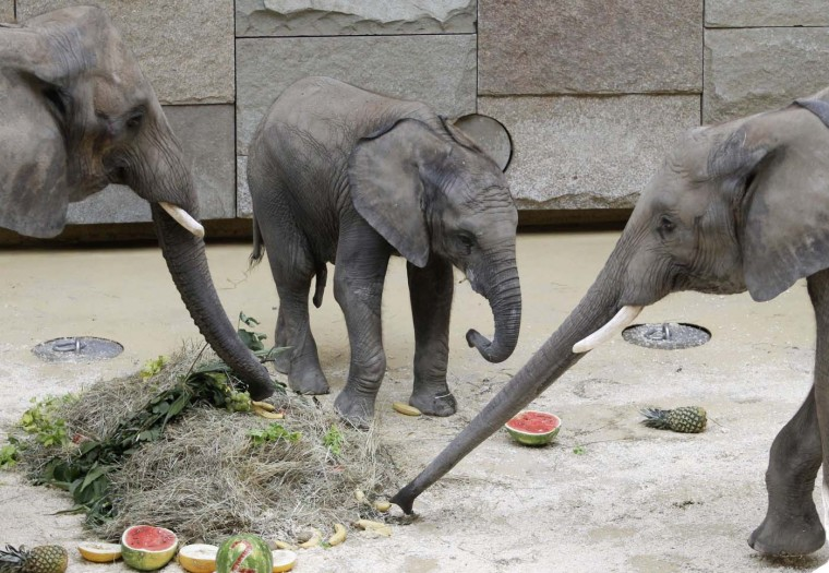 African elephant calf Tuluba (C), its mother Numbi (L) and its brother Kibo eat a vegetable cake on Tuluba's second birthday at its enclosure in Schoenbrunn Zoo, Vienna August 6, 2012. (Leonhard Foeger/Reuters)