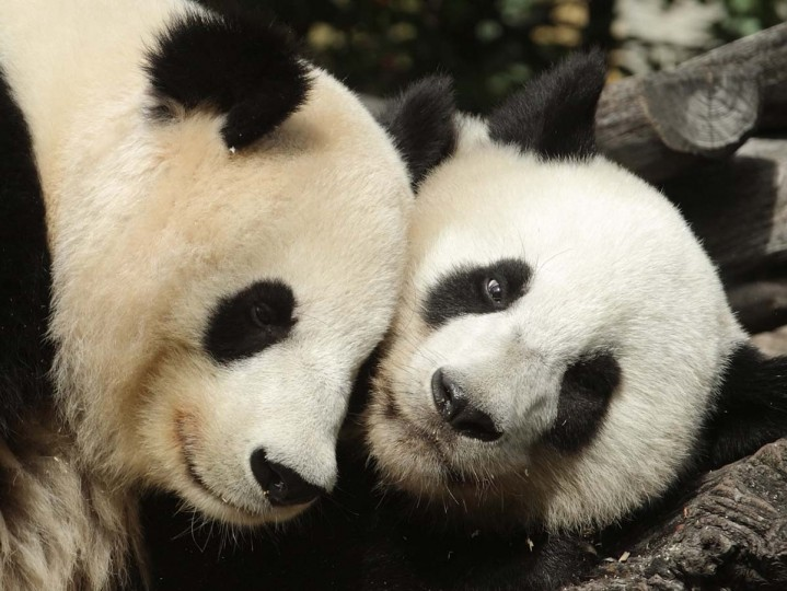 Giant panda Yang Yang (L) and her cub Fu Hu (meaning lucky tiger) cuddle in their enclosure on Fu Hu's second birthday at the zoo in Vienna, August 23, 2012. The cub of pandas Yang Yang and Long Hui was born in the zoo. Fu Hu's parents were transferred from China to Schoenbrunn Zoo in 2003, and are on loan to Austria by China for a period of 10 years. (Heinz-Peter Bader/Reuters photo)