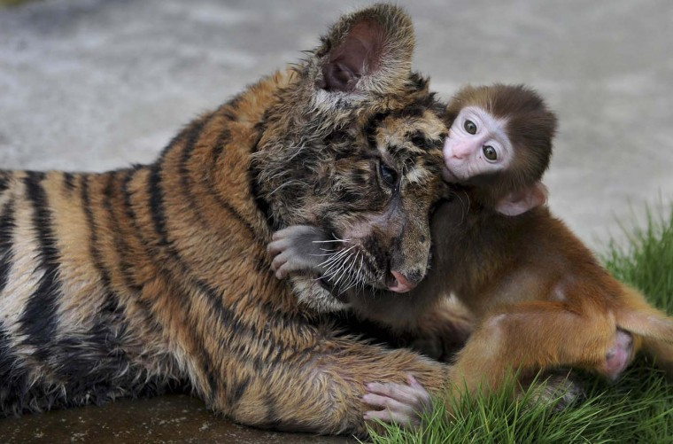 A baby rhesus macaque (Macaca mulatta) plays with a tiger cub at a zoo in Hefei, Anhui province, August 2, 2012. (Stringer/Reuters)