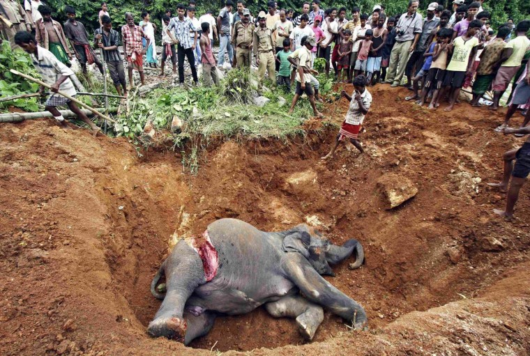 Local villagers prepare to bury the body of a female elephant near Panbari railway station, about 31 miles east from Guwahati in the northeastern Indian state of Assam, August 2, 2012. A female elephant died on Wednesday after it was hit by a passenger train while crossing a railway track, forest officials said. (Utpal Baruah/Reuters)