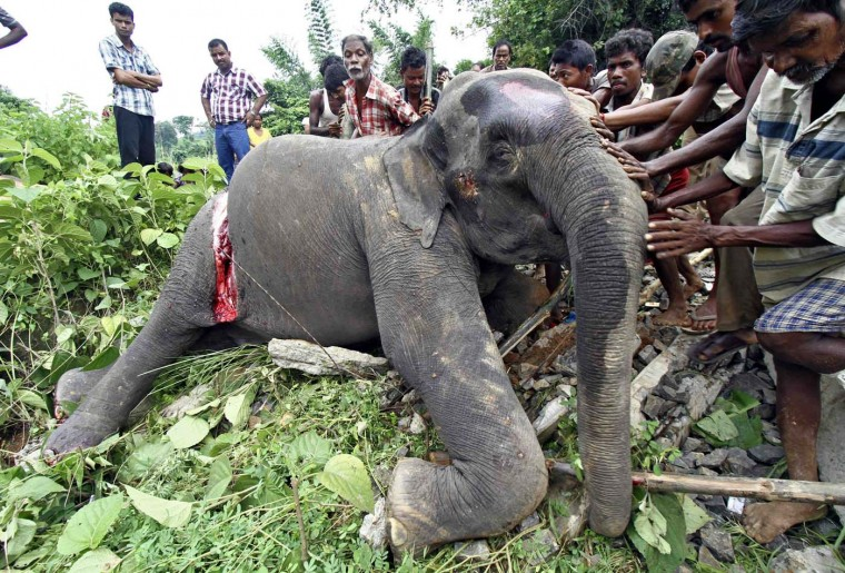 The body of a female elephant is pushed by the local villagers for burial near Panbari railway station, about 31 miles east from Guwahati in the northeastern Indian state of Assam, August 2, 2012. A female elephant died on Wednesday after it was hit by a passenger train while crossing a railway track, forest officials said. (Utpal Baruah/Reuters)