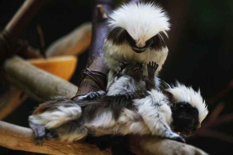 A month-old cotton-top tamarin, a species of monkey which originates from South-America, is seen with its parents at their enclosure in the Biblical Zoo in Jerusalem. The tamarin couple gave birth to two babies a month ago at the zoo. Tamarins are on the list of the world's 25 most endangered primates as published by international conservation groups. (Amir Cohen/Reuters)