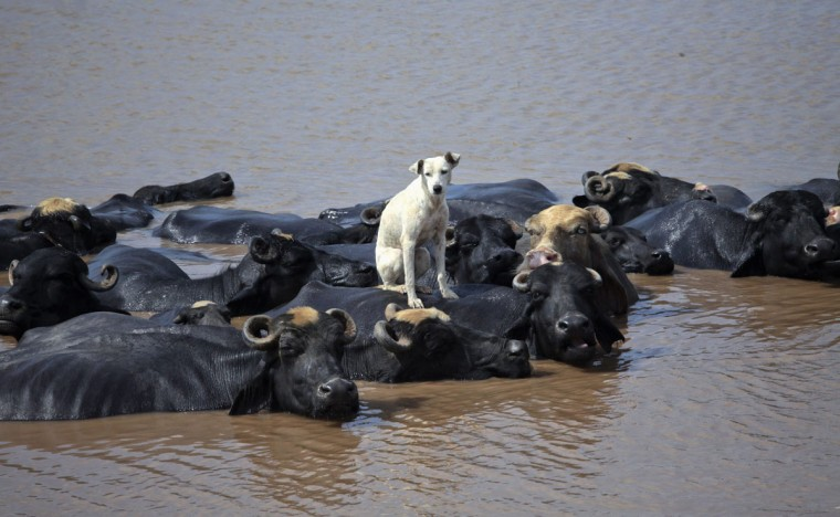A dog sits on a buffalo who is cooling off in the Ravi River in Lahore, Pakistan. (Mohsin Raza/Reuters)
