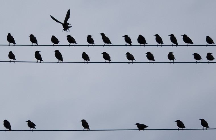 Birds sit on a telephone wire as one flies in Zurich. (Michael Buholzer/Reuters)