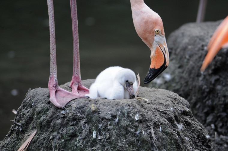 A Caribbean flamingo hatchling sits in a nest with its mother at the Wildlife Conservation Society's Bronx Zoo in New York in this undated handout photo released by the WCS. The chick was later helped to its feet by its mother to stand on a nest mound in the pond outside of the zoo's Aquatic Birds exhibit. (Julie Larsen Maher/Wildlife Conservation Society's Bronx Zoo)